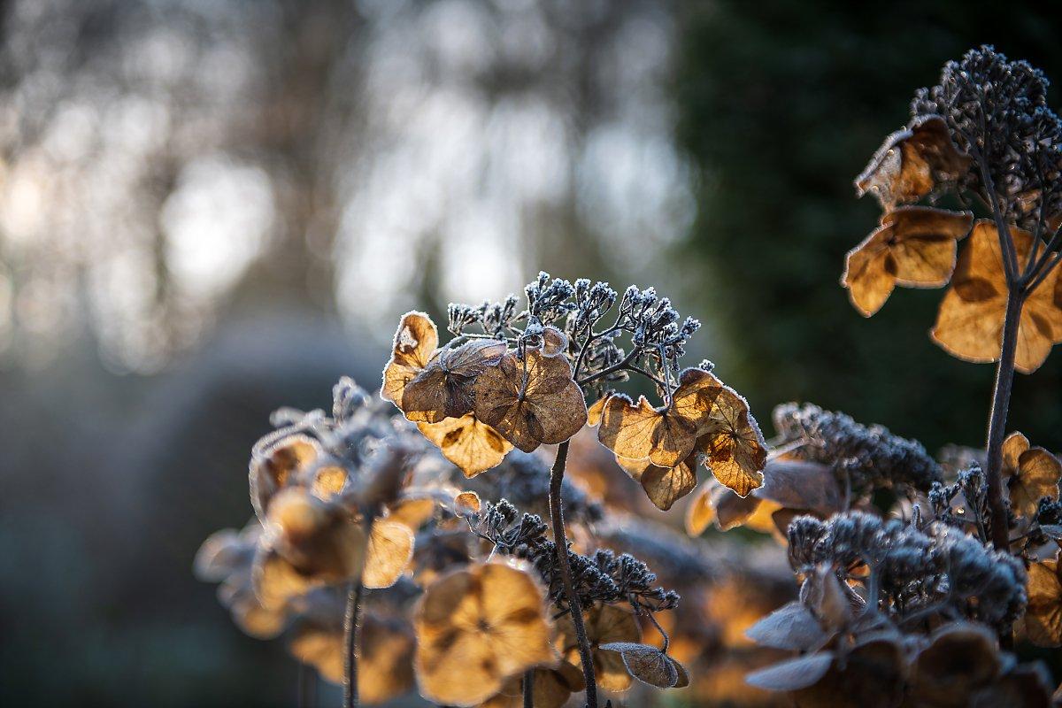 Mariage d'hiver, hortensias, détail du jardin sous le givre de janvier. Aurore delsoir photographe de mariage
