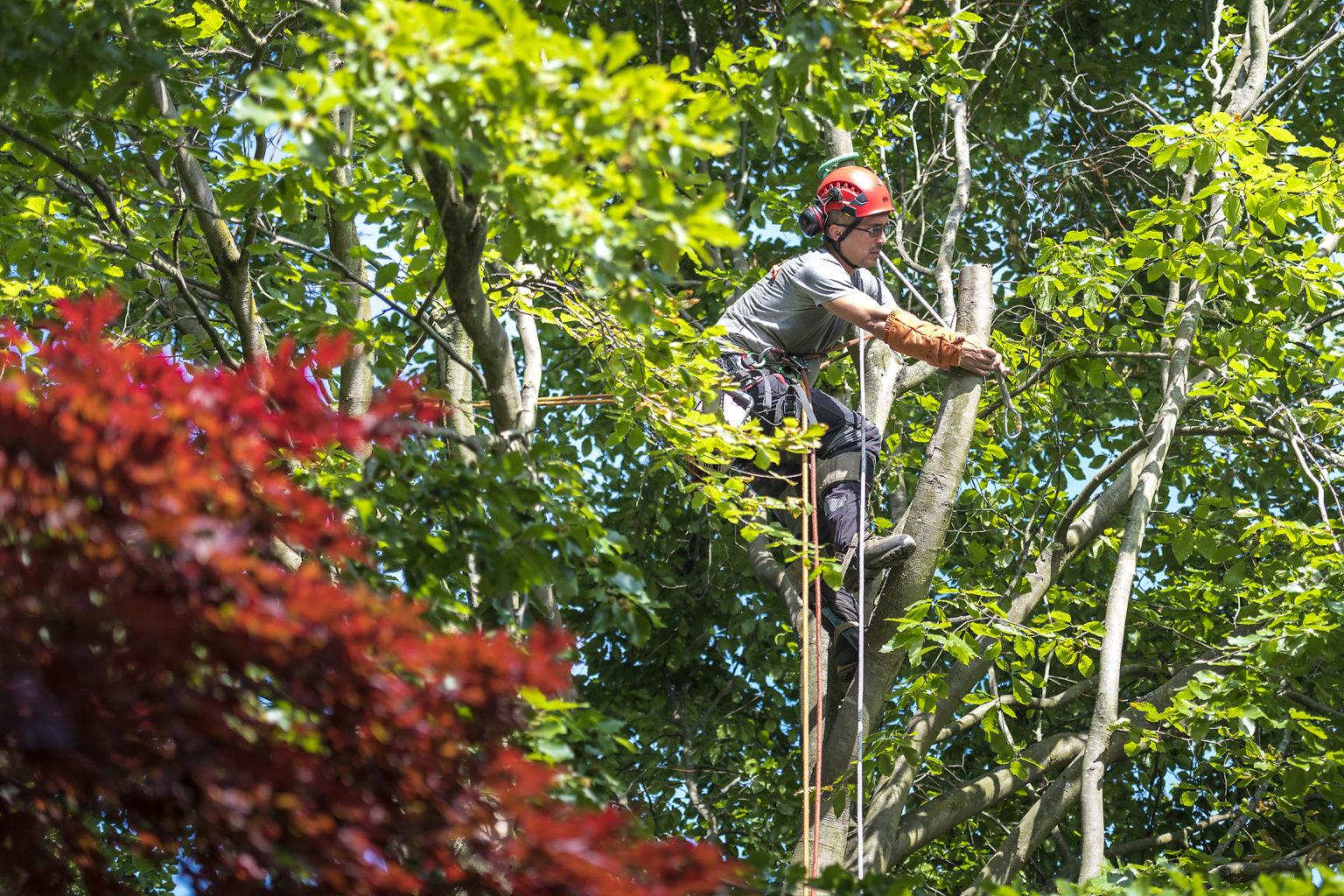 Opération d'abattage d'arbre par Noco l'arboriste, Aurore Delsoir photographe