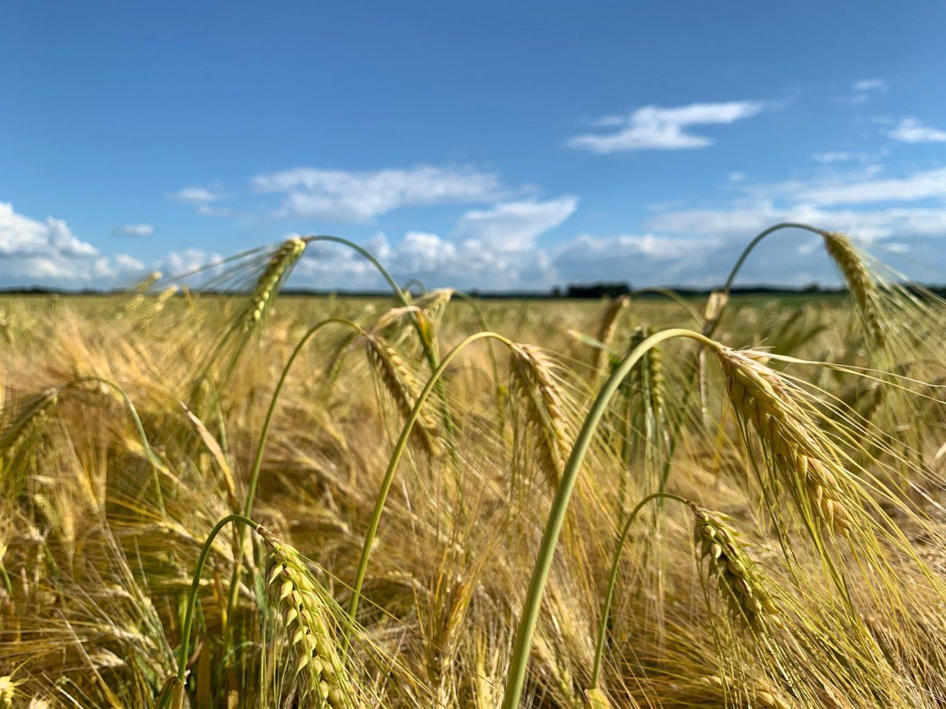 Champ de blé pour EcoXtract