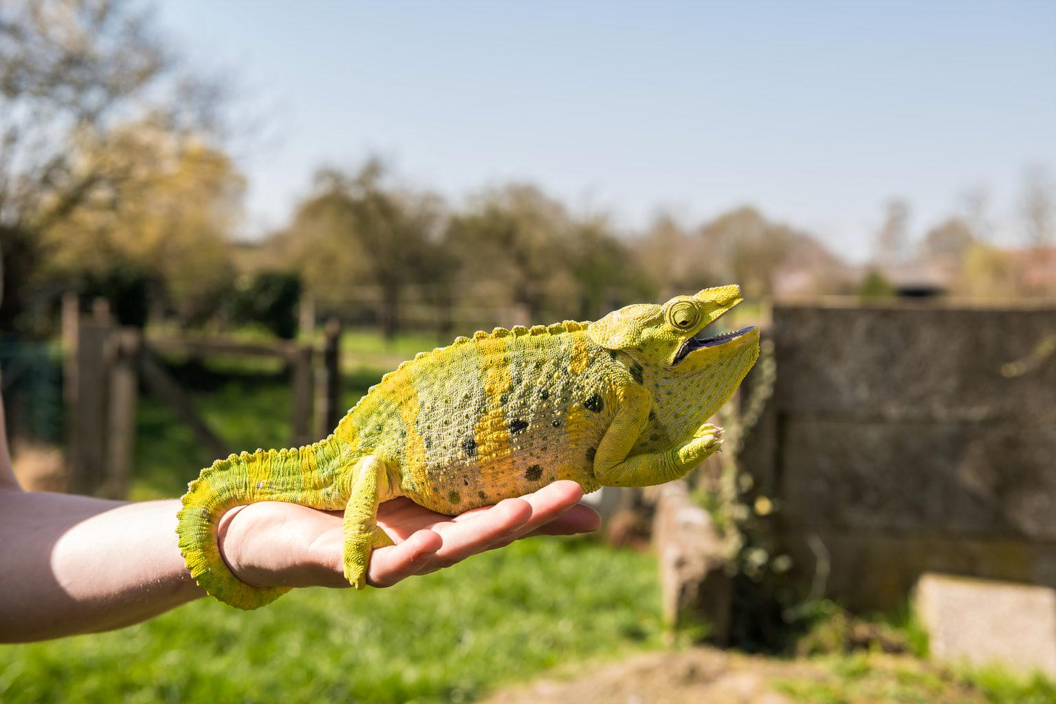 Un caméléon chez BO Reptiles, par Aurore Delsoir Photographe